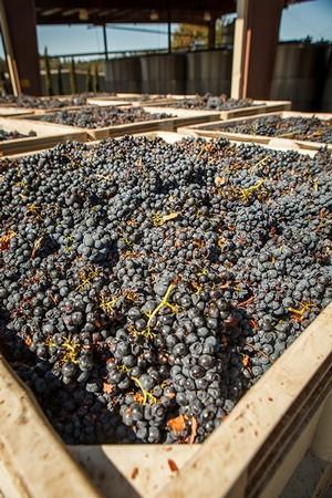 harvest-grapes-2